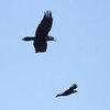 Raven and Common crow in flight, Phippsburg, Maine May 2012