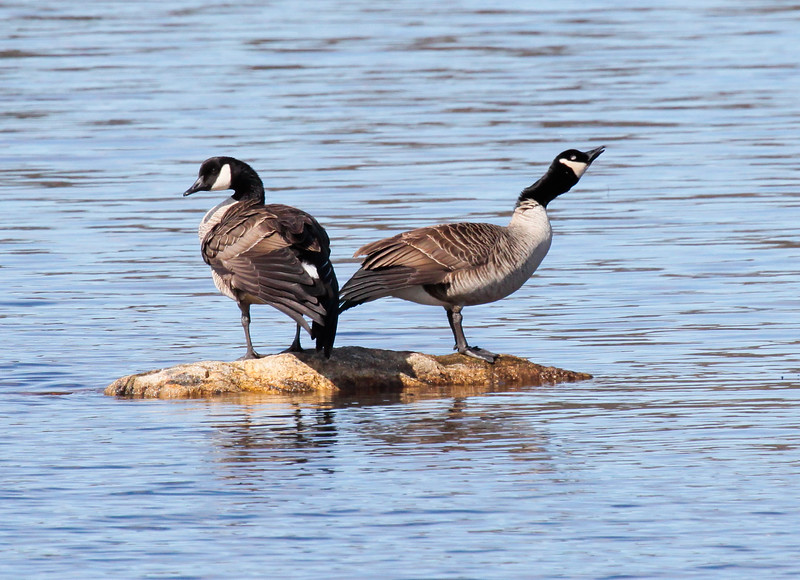 Canada Geese, Pair With Trumpeter