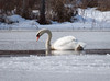Mute swan swimming in open water through ice and snow