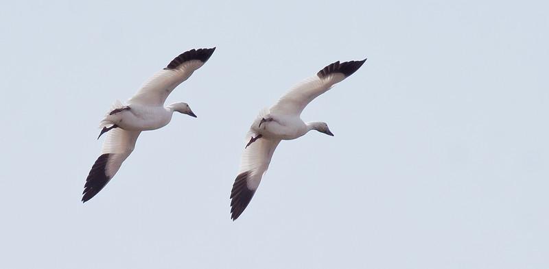 Snow geese pair in tandem flight, Phippsburg, Maine, spring, migratory