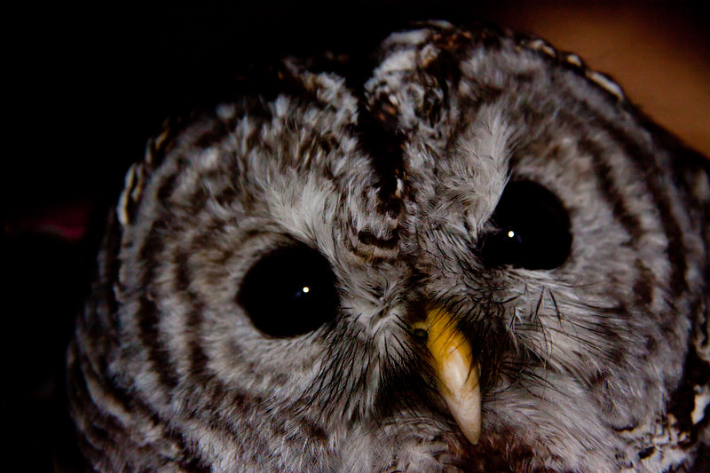 Barred Owl, Close Up Of Face