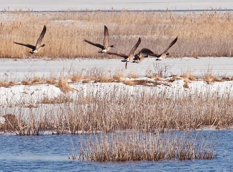Canada geese  flock in flight over salt marsh in winter, habitat classic, Phippsburg, Maine in winter with snow
