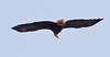 Bald Eagle Soaring