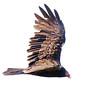 Turkey Vulture Soaring, Side View