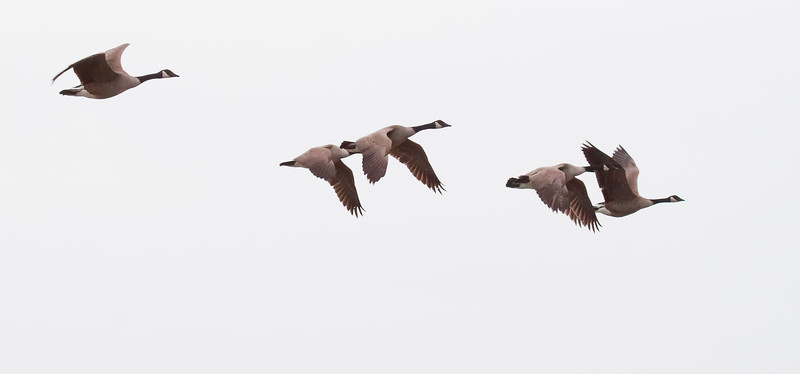 Canada Geese flock in flight
