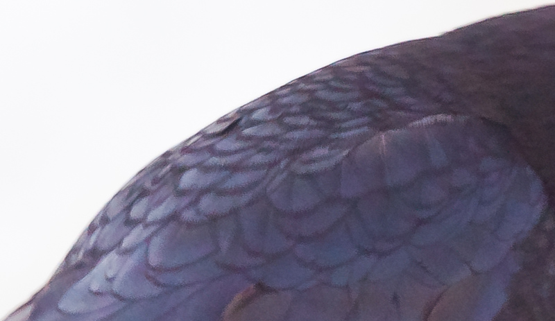 feather details of black, American Crow