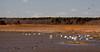 Tundra Swans, flock, Edwin B. Forsythe Wildlife Preserve, New Jersey, salt marsh