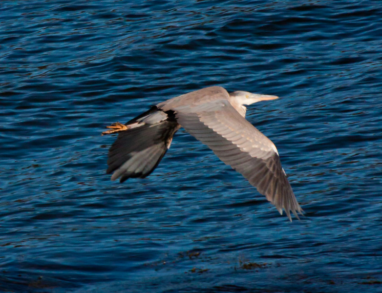 Great Blue Heron in flight, close up, wings down, Phippsburg, Maine, Sagadahoc County, Totman Cove