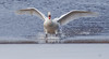 Mute swan coming in for a landing on frozen pond