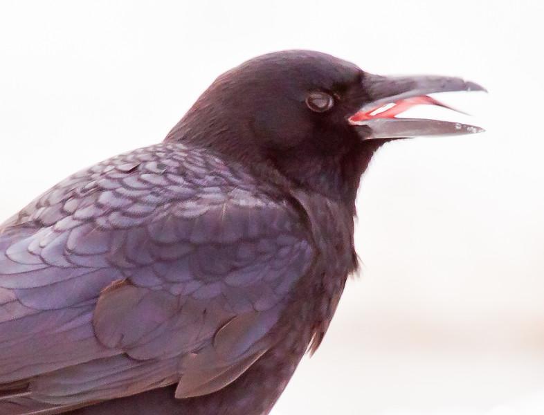American Crow with beak open showing tongue, Phippsburg, Maine