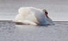 Mute swan swimming, resting and wing fanning