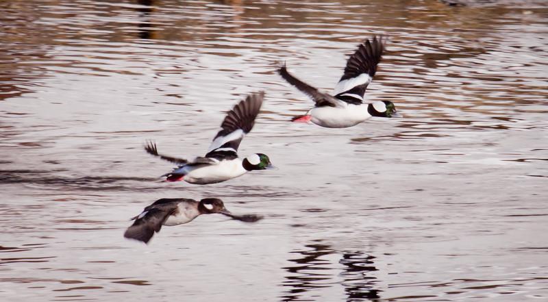 Buffleheads in flight Phippsburg Maine