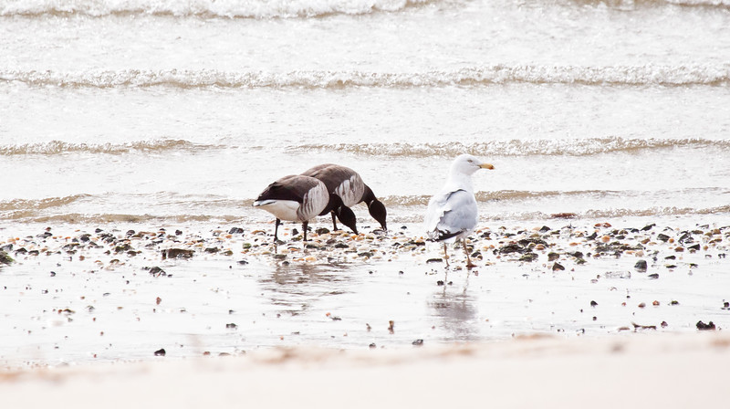 Brant geese with Herring gull, feeding on tidal flats