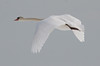 Mute Swan In Flight left facing