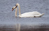 pair of Mute swans swimming