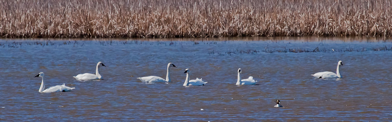 Tundra Swans, native species in spring migration, flock of six in salt marsh with Northern Pintail drake duck on the right