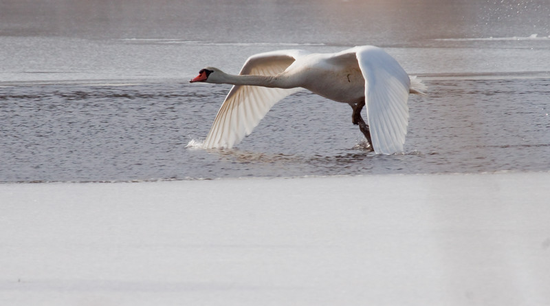 Mute Swan Take Off