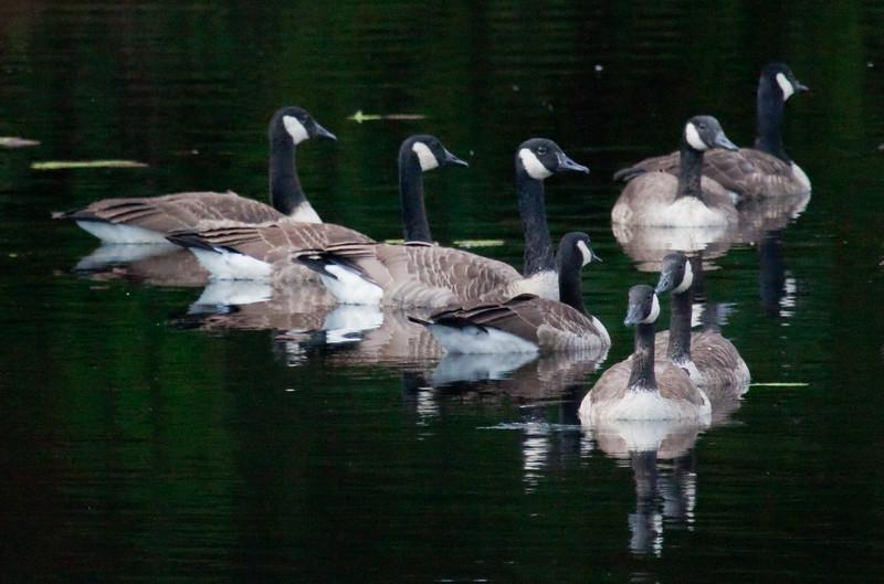flock of Canada geese swimming, Phippsburg, Maine