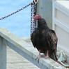 Turkey Vulture & Chains sitting on my pier! Atlantic Ocean, Totman Cove, Casco Bay, Phippsburg, Maine