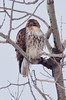 Red-Tailed hawk perched in trees, spring, Maine