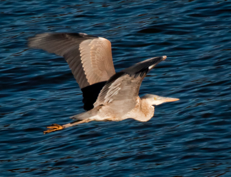 Great Blue Heron in flight, wings up, right facing, close up, Phippsburg, Maine, Totman Cove, Small Point Harbor, summer