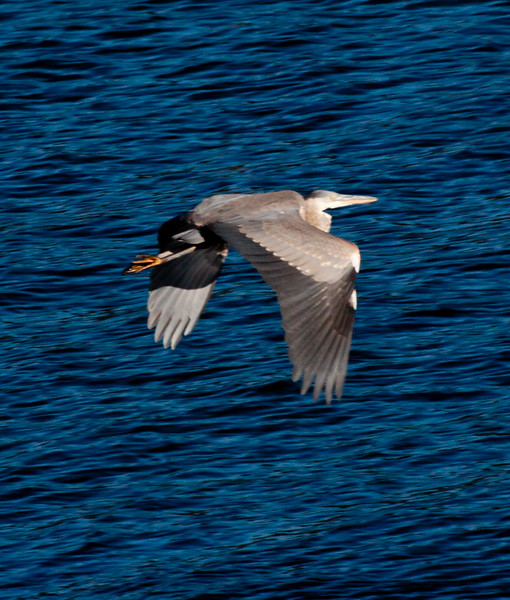 Great Blue Heron in flight, right facing, wings down, Phippsburg, Maine wading bird, migratory
