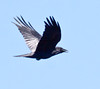 Raven in flight while vocalizing Phippsburg Maine
