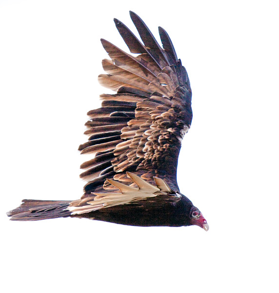 Turkey Vulture Soaring, Side View