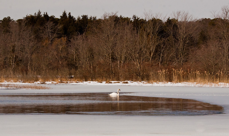 lone Mute swan in open water on frozen pond in spring, lovely image