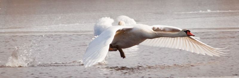 Mute swan in flight taking off from water, close up, right facing