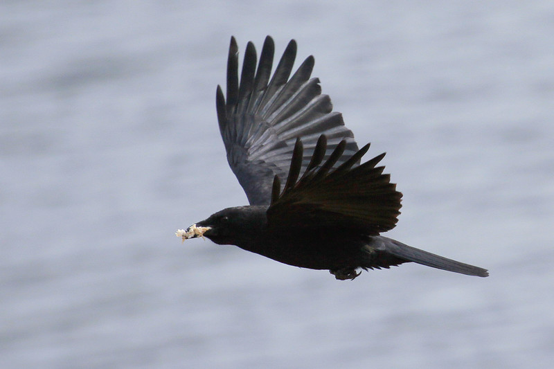 Raven With Food In Flight, Phippsburg, Maine