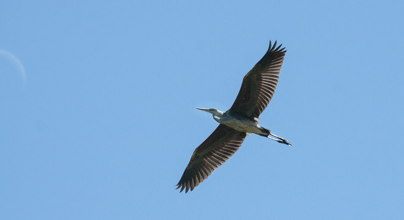 Great Blue Heron in flight, juvenile, Phippsburg, Maine mid August, a migratroy wading bird in Maine
