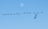 A wedge of Canada Geese flying before the moon, December, Phippsburg Maine Popham Beach State Park