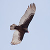 Turkey Vulture in flight, close up, Phippsburg, Maine, right facing from underneath