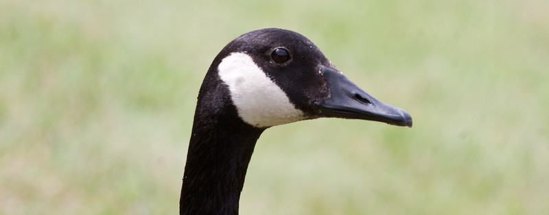 head shot, eye detail of Canada goose, right facing. Phippsburg Maine