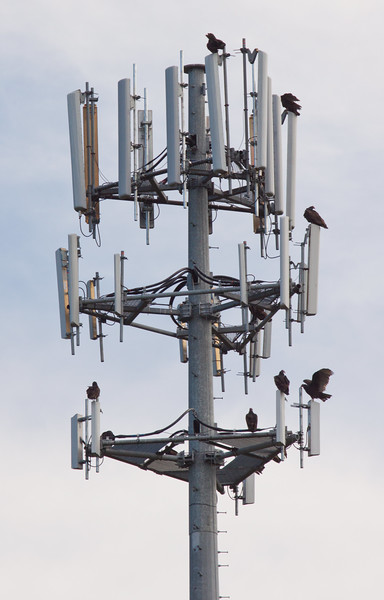 Turkey Vultures On Cell Phone Tower, migratory flock of 8, Warren, Maine, October 4, 2010