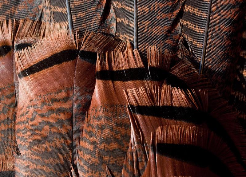 Turkey Tale Feathers, Detail