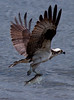 osprey in flight lifting off with a fresh catch of possible Bass from Totman Cove, Phippsburg Maine
