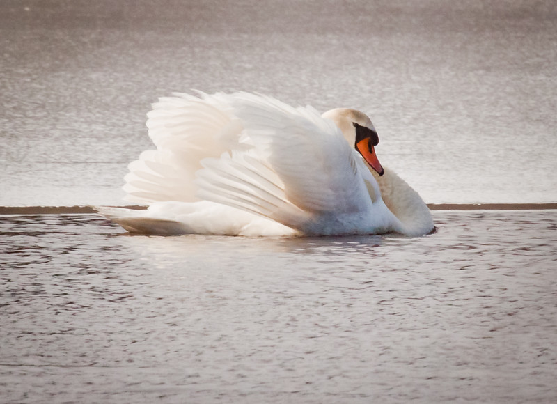 elegant Mute swan on water with feathers puffed up. Mute swans were introduced to the United States from Europe. They have proved to be an invasive, very aggressive species.