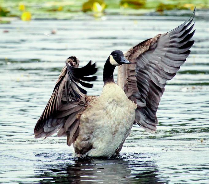 Canada Goose close up wing stretching, wings spread, Watah Lake, Sebasco Harbor, Maine, Phippsburg, spring