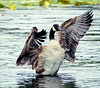 Canada Goose close up wing stretching, wings spread, Watah Lake, Sebasco Harbor, Maine, Phippsburg, spring