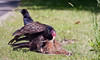 Turkey vulture eating roadkill believed to be a Woodchuck, Phippsburg Maine