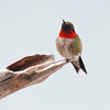 Ruby-throated hummingbird, male perched, spring, Phippsburg, Maine