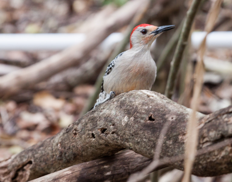 Red Bellied Woodpecker searching for insects in tree trunk