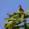 Common Yellowthroat warbler male singing, June, Phippsburg Maine Maine, bird, nature, wildlife, photograph, photography