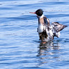 Red-breasted merganser drake shaking off a shawl of seaweed, Totman Cove, Phippsburg, Main Maine, bird, nature, wildlife, photograph, photography