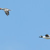 Common Goldeneye ducks in flight, female and male, Phippsburg, Maine