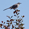 Northern Mockingbird on holly