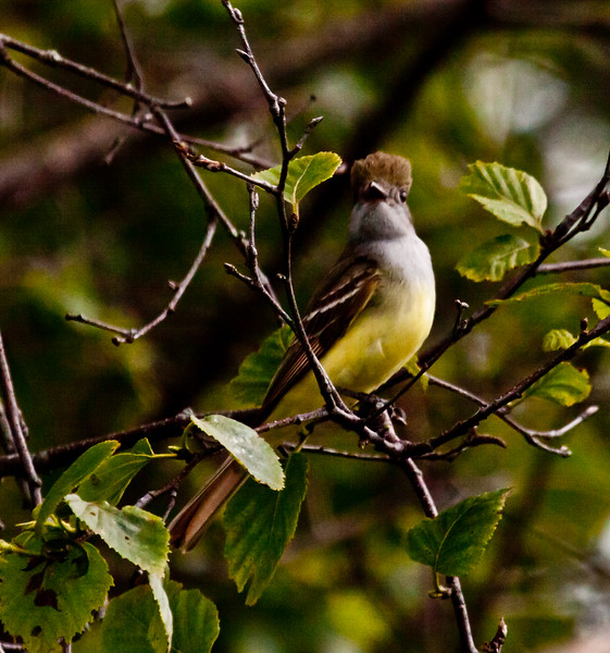 Great Crested flycatcher, male, crest up, Phippsburg Maine June Maine, bird, nature, wildlife, photograph, photography