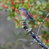 Male Eastern Bluebird perched on a twig encrusted with lichen and red, Winterberry, ilex verticilata in the background, Phippsburg, Maine in October during fall migration
